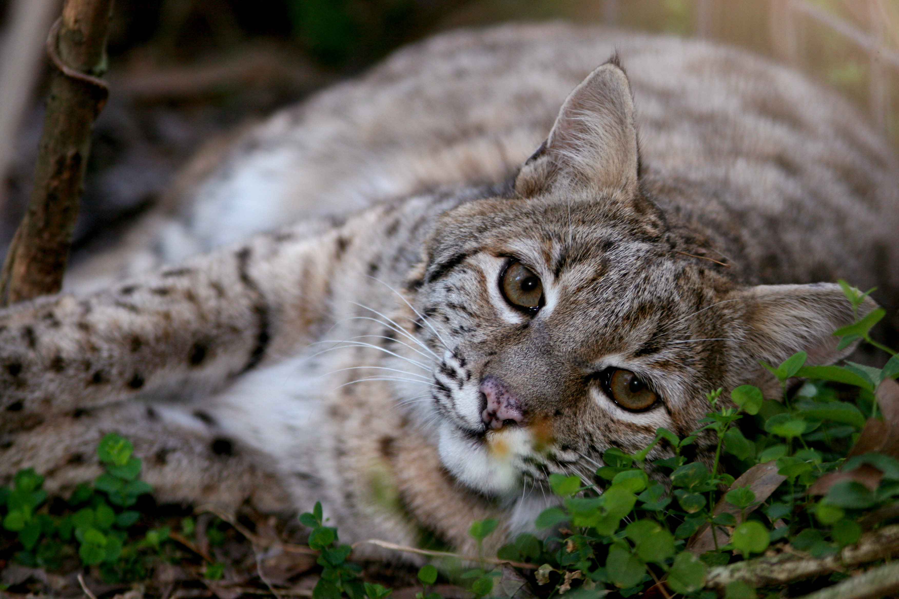 Bobcat_Catera