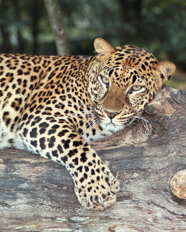 LeopardGold_Jade2